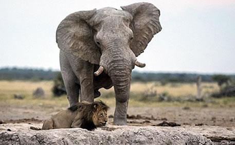 非洲雄狮喝水险遭大象踩死狼狈逃跑幸运生还