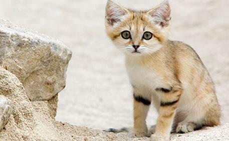 濒临灭绝沙猫大耳朵长尾巴讨人喜爱