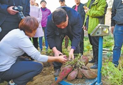 孟津紅薯單株産量16.55公斤