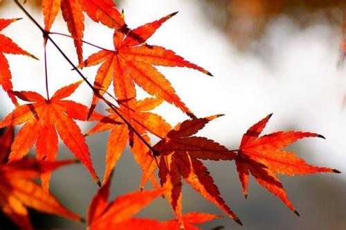 """紅葉""""紅""""遍朋友圈 今年秋葉為啥特別紅?"""