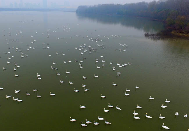 """黃河上的""""天鵝湖"""""""