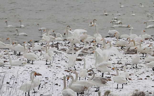 三门峡:天鹅振翅迎飞雪,雪赠天鹅洁白装