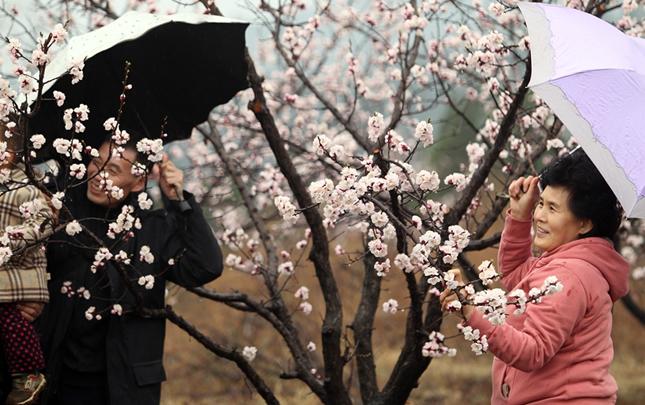 河南禹州:杏花爛漫三月時