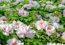 洛阳春色好 牡丹领群芳