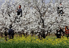 梨花朵朵开