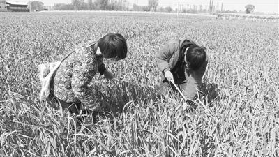 河南中牟早熟蒜薹上市 价格比往年便宜不少