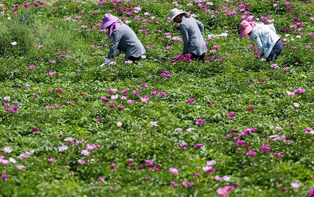 【航拍】河南鲁山:芍药花开致富路