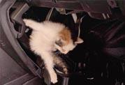 高架车流中救下的小猫又钻进了汽车发动机缝隙