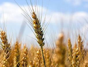 河南大部将现35℃高温专家提醒小麦需防干热风