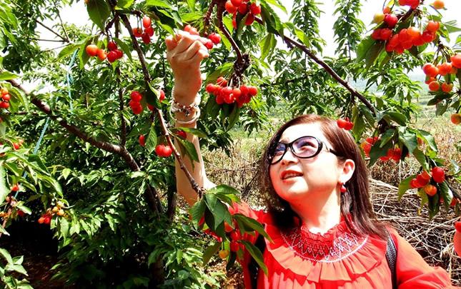 河南新安:樱桃谷的大樱桃熟了
