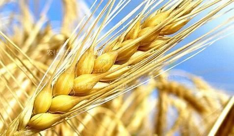 国家首个杂交小麦产业化基地研发中心奠基