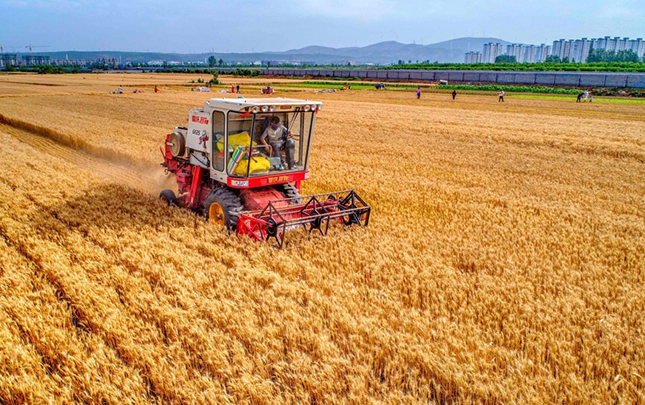 【航拍】麦收季 金满地