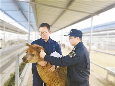 鄭州海關:681只澳洲羊駝順利入境