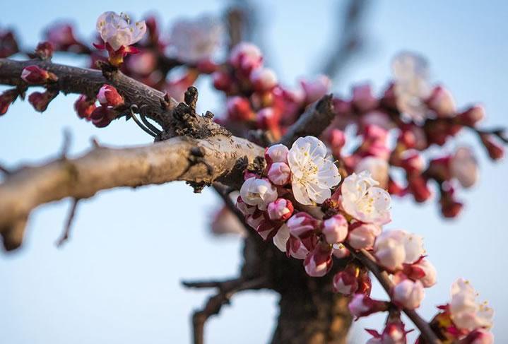 【微視頻】石峽溝:杏花漸開蜂自舞