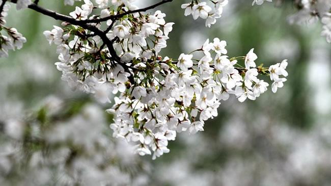 許昌學院:這裏的櫻花更浪漫