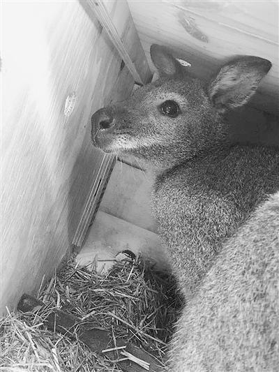 50只來自荷蘭的赤頸袋鼠登陸鄭州航空口岸