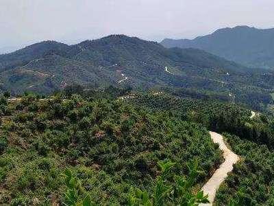 到2025年 河南省油茶林面積將達150萬畝