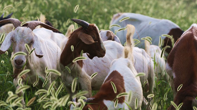 開封:黃河灘區養殖山羊致富增收