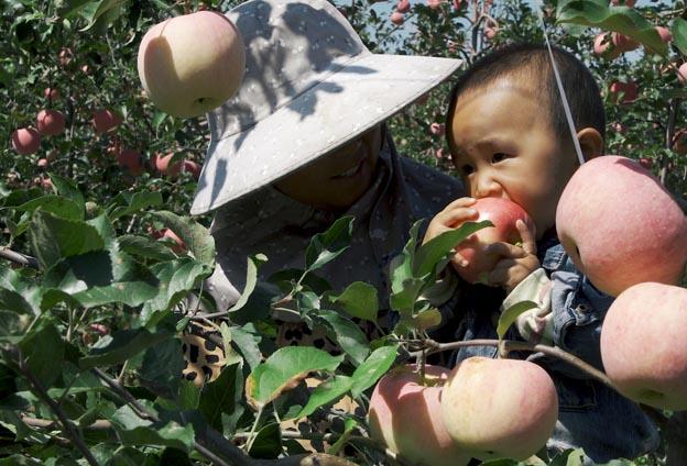 """2020第三屆中國農民豐收節·靈寶蘋果採摘季活動主題為""""蘋果園裏慶豐收,黃河岸邊迎小康"""",共有21項活動,內容豐富多彩。"""