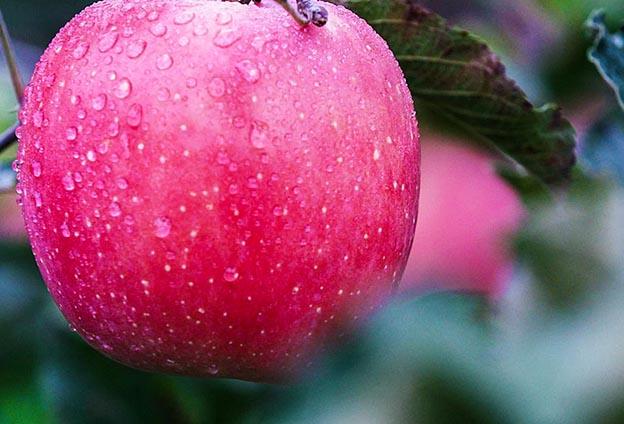 """正是因為有得天獨厚的自然條件,以及果農對每一棵蘋果樹的精心呵護,造就了與眾不同的優質""""靈寶金蘋果""""。"""